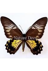 . Unmounted Troides Cuneifera  Cuneifera (female)