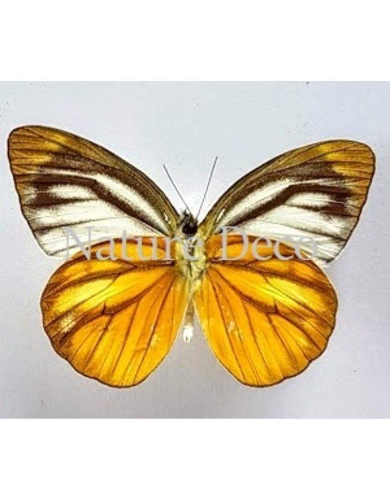 . Unmounted Cepora Nadina