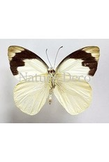 . Unmounted Appias Indra