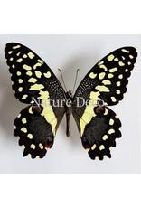 . Ongeprepareerde Papilio Demodocus