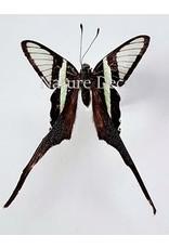 . Ongeprepareerde Lamproptera Meges