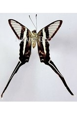 . Unmounted Lamproptera Meges