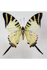 . Unmounted Graphium Antiphates