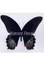 . Ongeprepareerde Papilio Rumanzovia