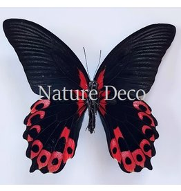 . Unmounted Papilio Rumanzovia