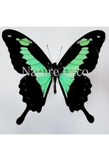 . Unmounted Papilio Phorcas