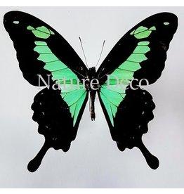. Ongeprepareerde Papilio Phorcas