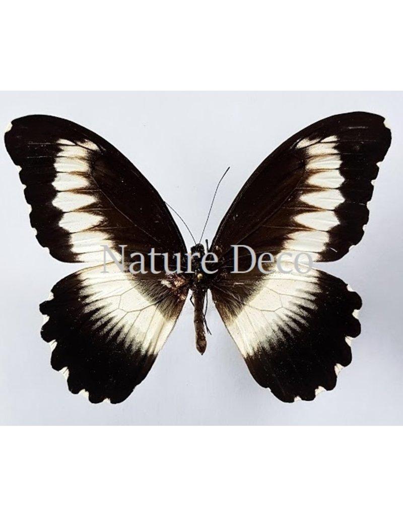 . Ongeprepareerde Papilio Mechowianus