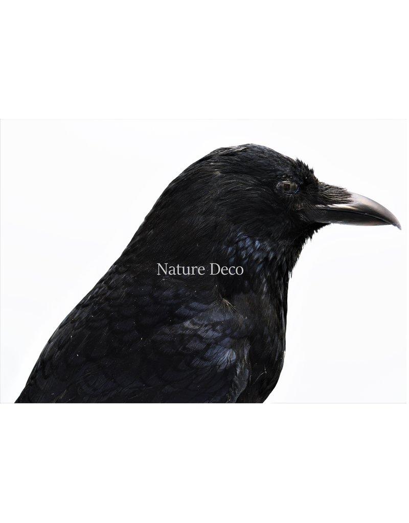 . Mounted Crow