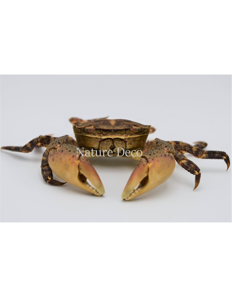 . Mounted crab (Hemigrapsus sanguineus)