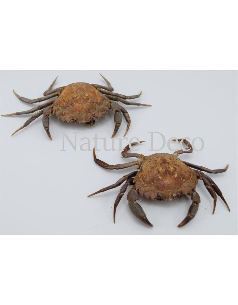. Mounted crab (Liocarcinus)