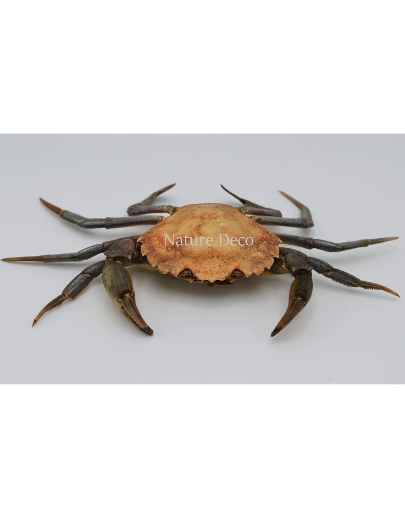 . Mounted crab XL (Liocarcinus)
