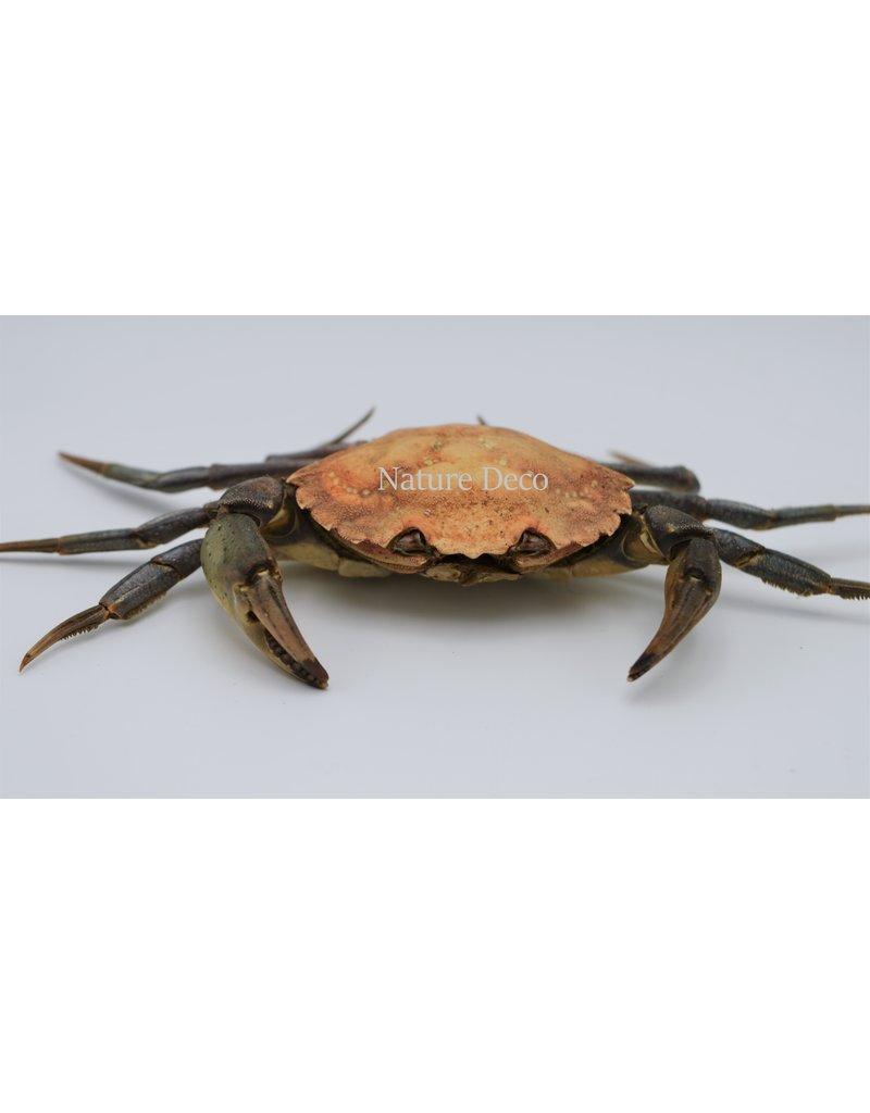 . Opgezette krab XL (Liocarcinus )