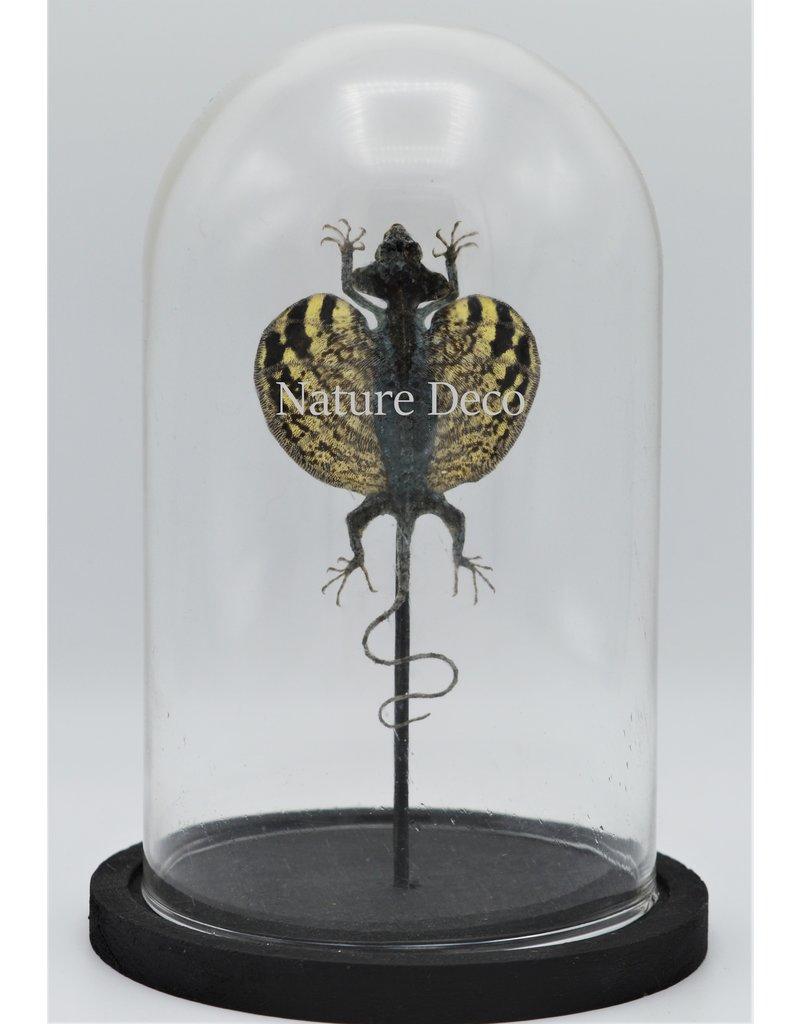 Nature Deco Draco Volans Volans (opgezet vliegend draakje) in stolp 14 x 21cm