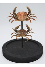 Nature Deco Crabs in glass dome 14 x 10cm