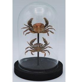 Nature Deco Crabs in glass dome