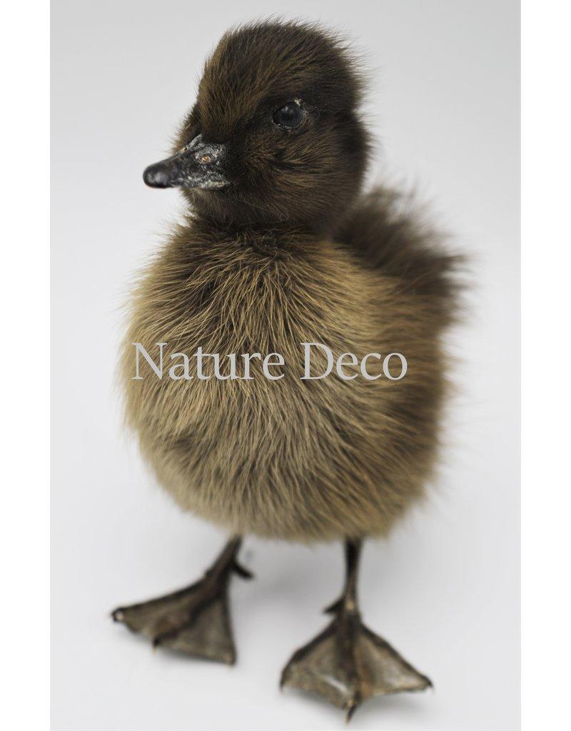 . Mounted dark duck