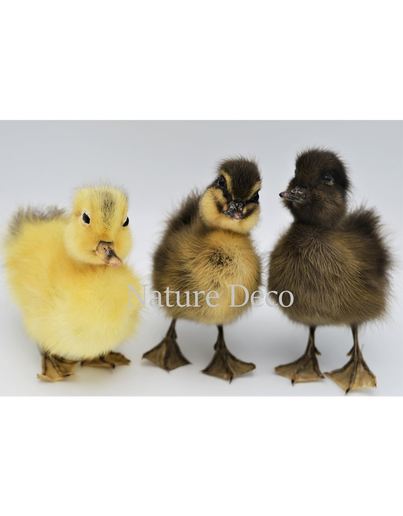 . Mounted duo color duck
