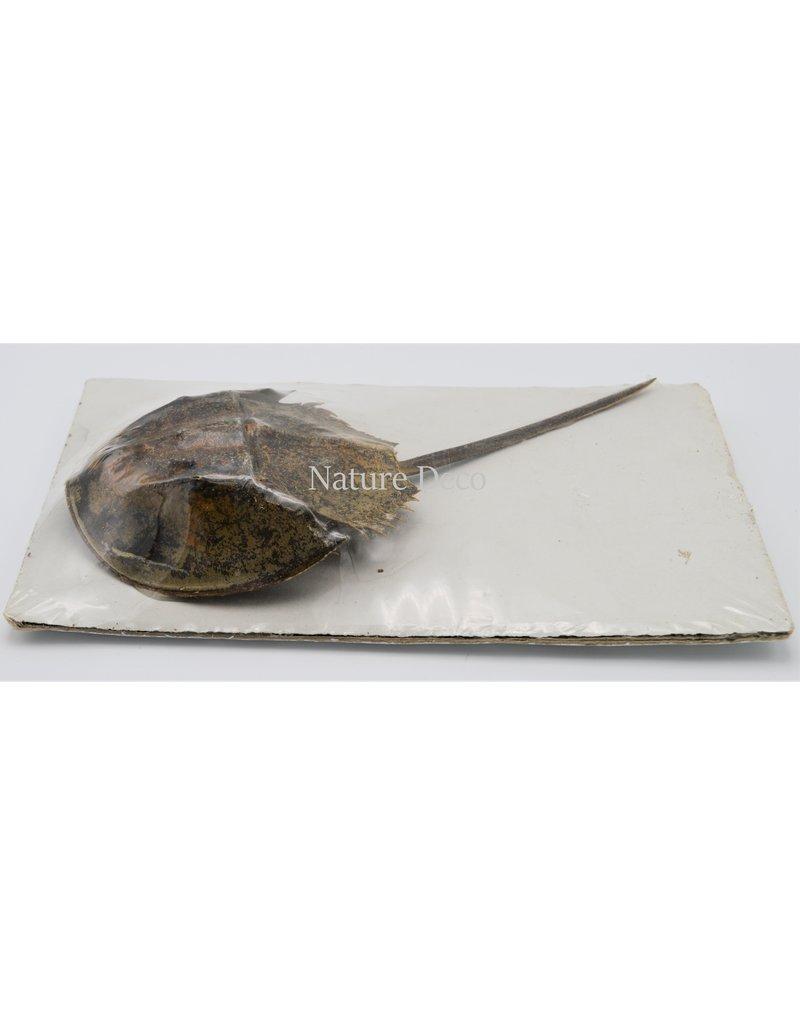 . Horseshoe crab