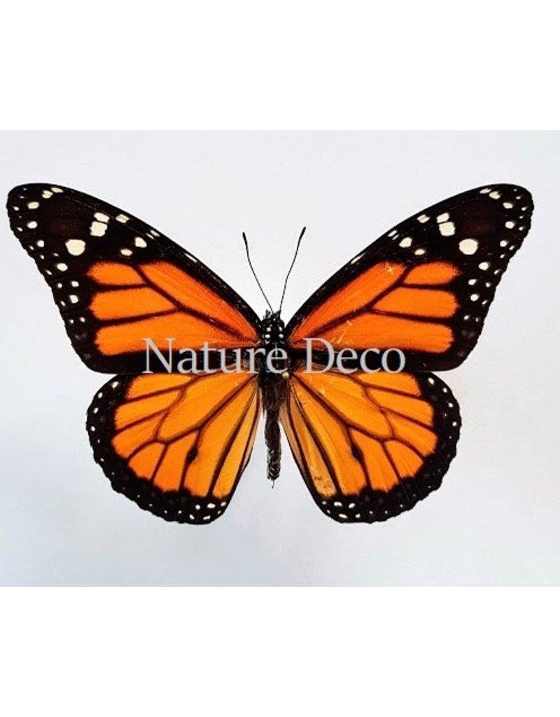 . Unmounted Danaus Plexippus (Monarch butterfly)