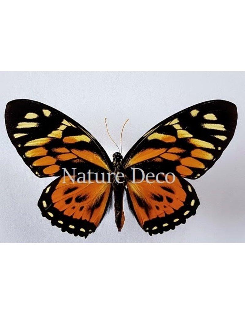 . Unmounted Papilio Zagreus