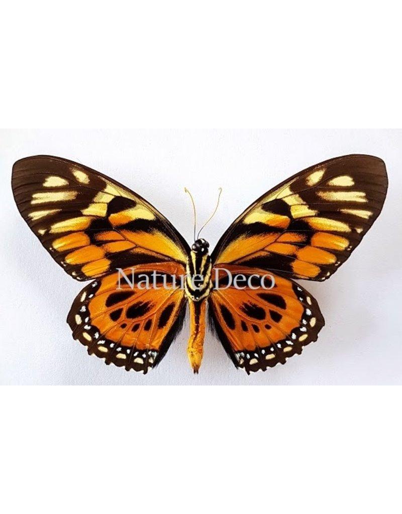 . Ongeprepareerde Papilio Zagreus