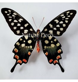 . Unmounted Papilio Antenor