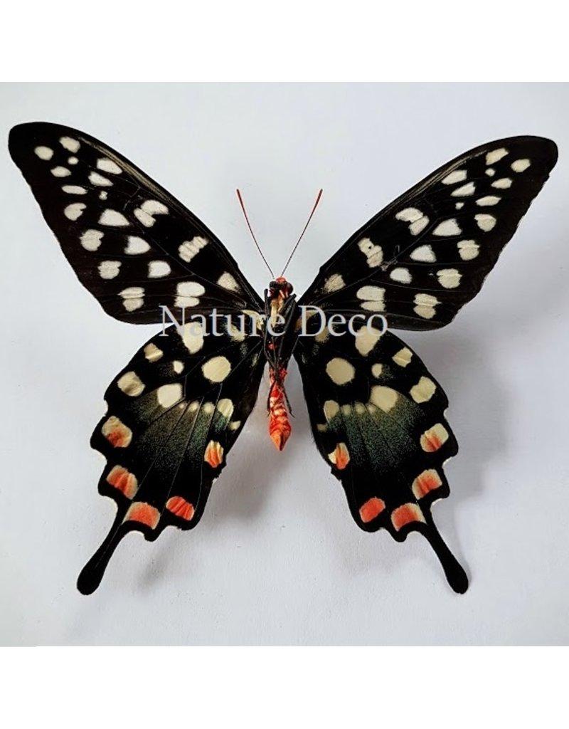 . Ongeprepareerde Papilio Antenor