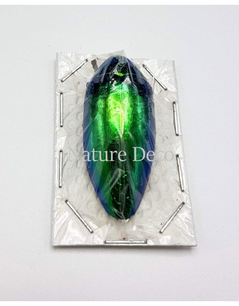 . Unmounted Sternocera Ruficornis Aequisignata (jewel beetle)