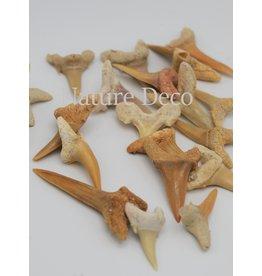 . Fossil shark teeth