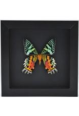 Nature Deco Urania Ripheus underside in luxury 3D frame black 17 x 17cm