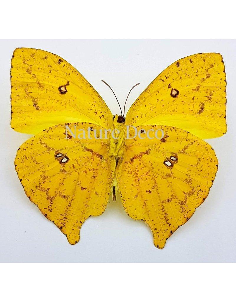 . Unmounted Phoebis Rurina