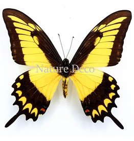 . Unmounted Papilio Lycophron