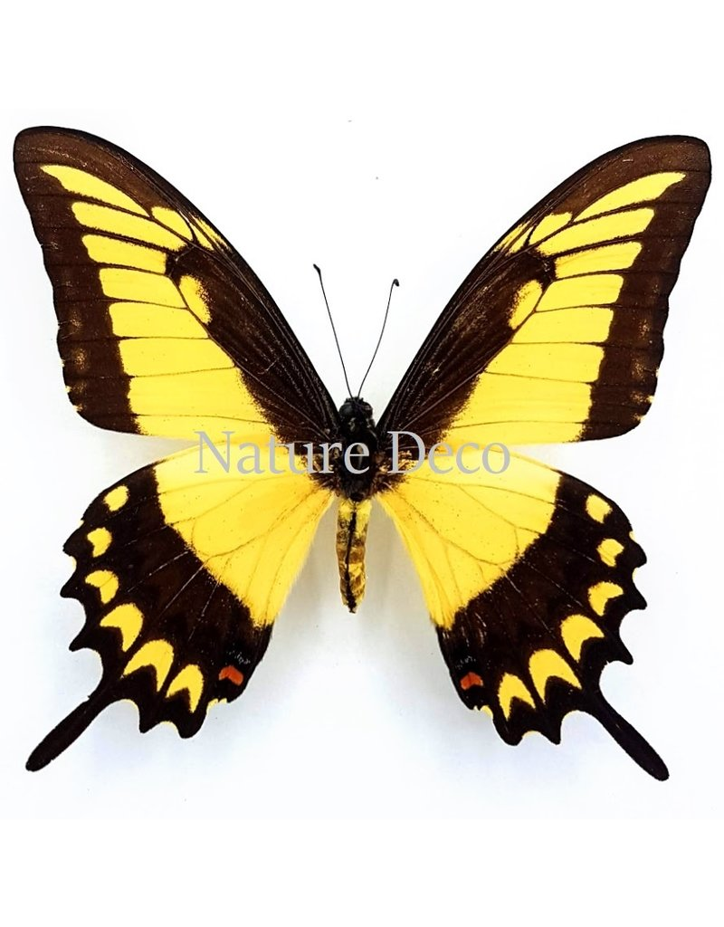 . Ongeprepareerde Papilio Lycophron