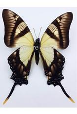 . Unmounted Eurytides Serville