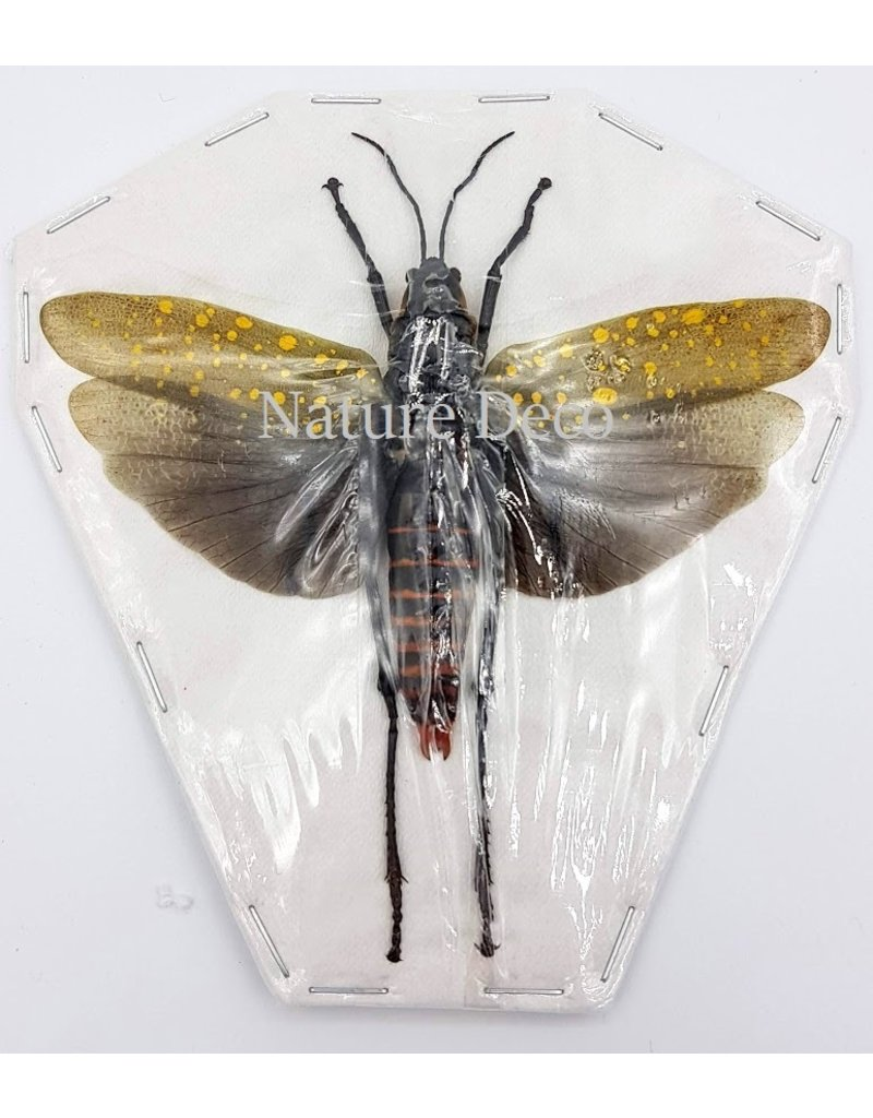 . (Un)mounted  Aularches Punctatus