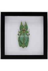 Nature Deco Wandelend blad XXL in luxe 3D lijst (Phyllium Giganteum) 22 x 22cm
