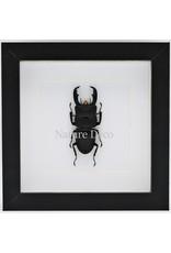 Nature Deco Dorcus Titanus Typhon (beetle) in luxury 3D frame 17 x 17cm