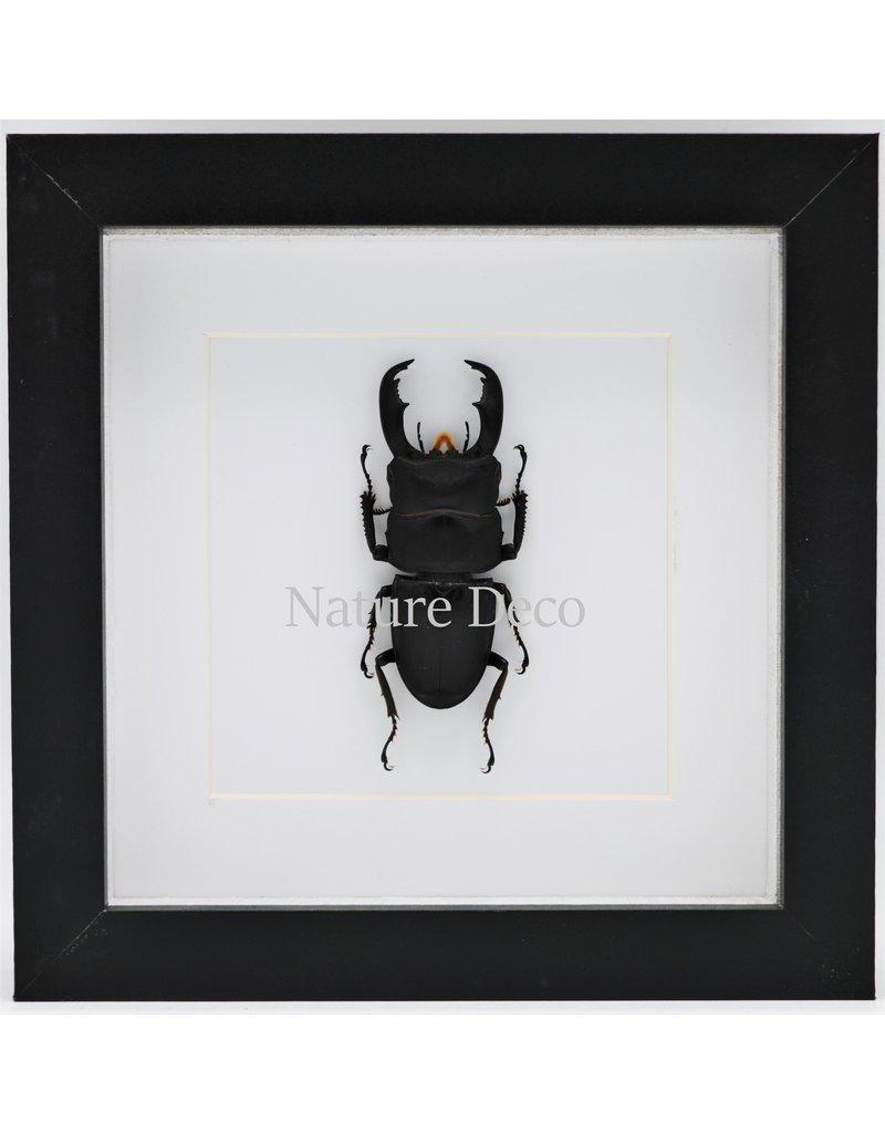 Nature Deco Dorcus Titanus Typhon (kever) in luxe 3D lijst 17 x 17cm