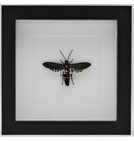 Nature Deco Megascolia Procer (wasp) in luxury 3D frame