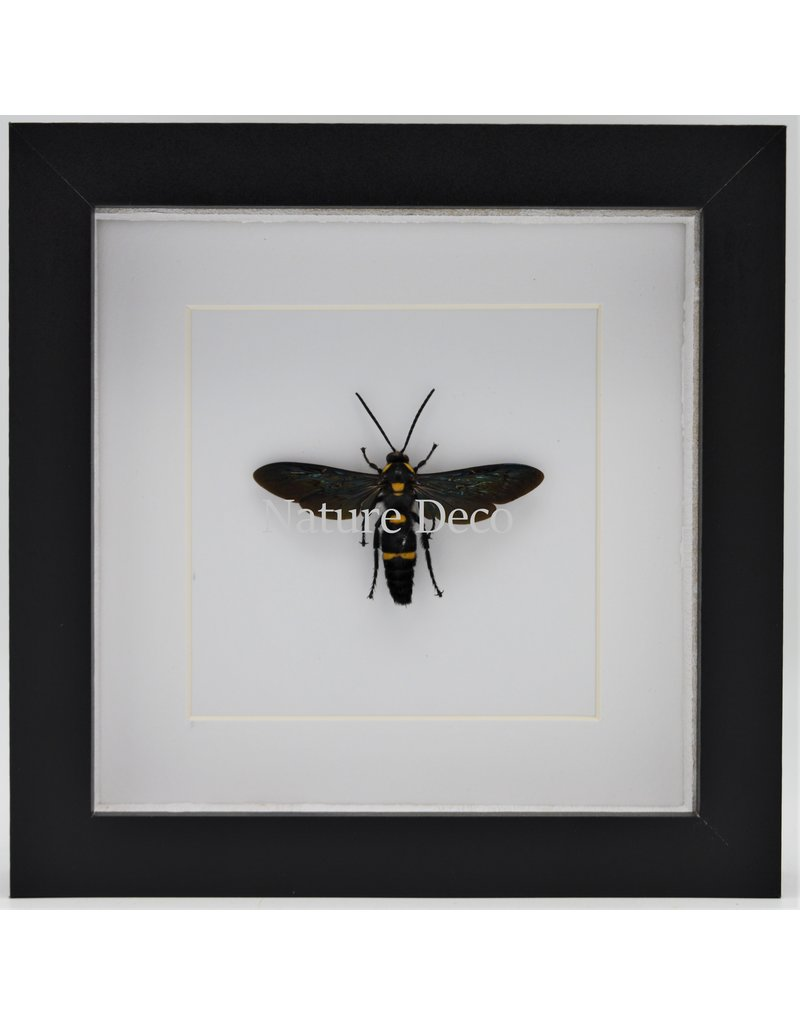 Nature Deco Megascolia Procer (wasp) in luxury 3D frame 17 x 17cm