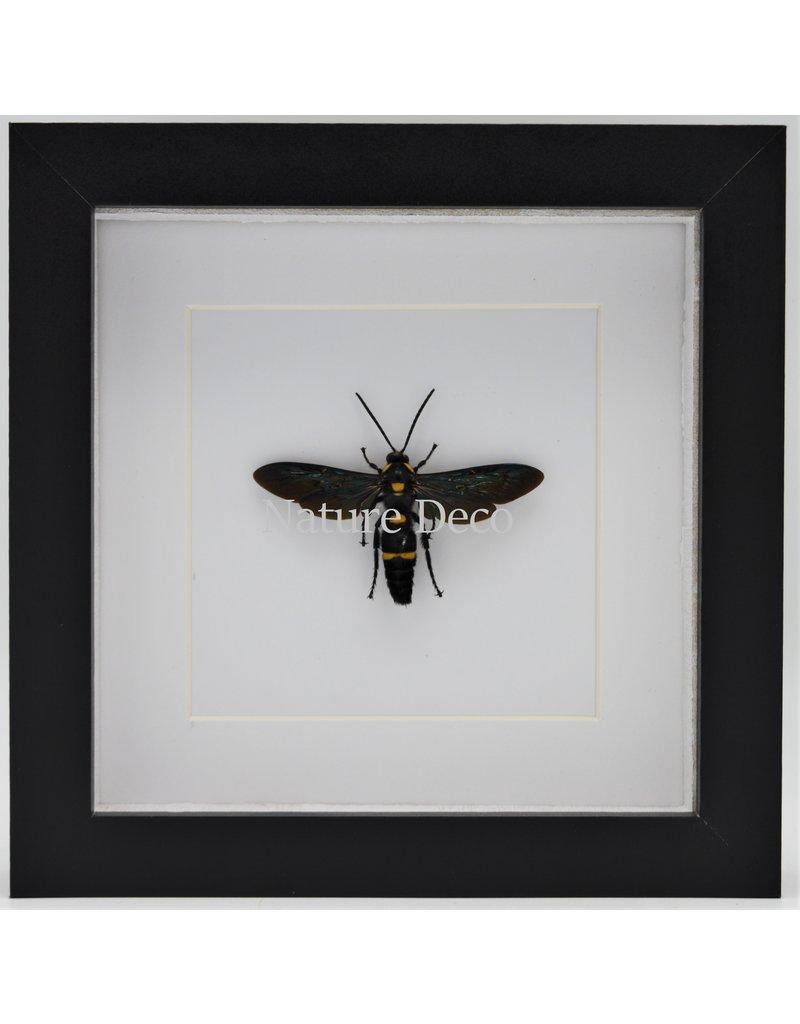 Nature Deco Megascolia Procer (wesp) in luxe 3D lijst 17 x 17cm