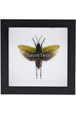 Nature Deco Aularches Punctatus (grasshopper) in luxury 3D frame 17 x 17cm