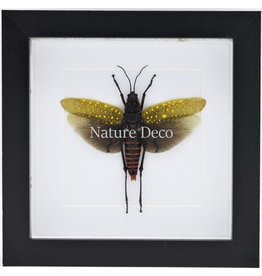 Nature Deco Aularches Punctatus (sprinkhaan) in luxe 3D lijst