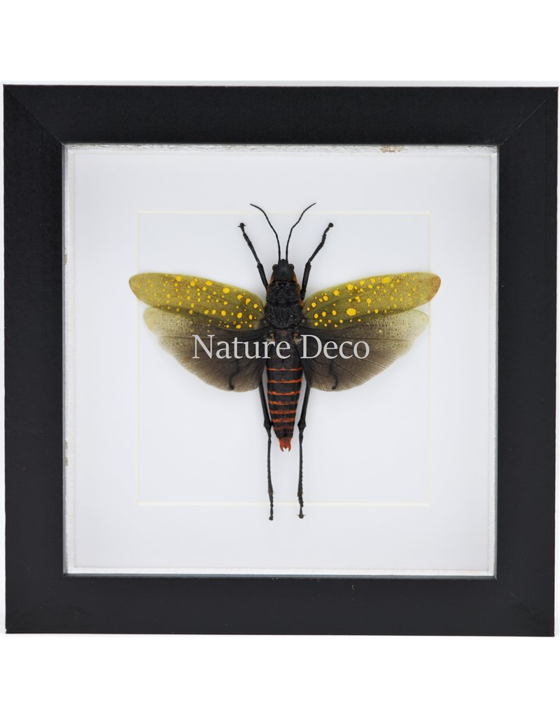 Nature Deco Aularches Punctatus (sprinkhaan) in luxe 3D lijst 17 x 17cm