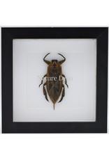 Nature Deco Waterbug (Lethocerus Indicus) in luxury 3D frame 17 x 17cm