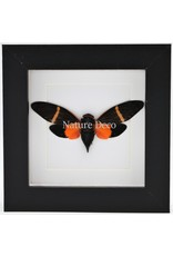 Nature Deco Orange cicada (Toseana Paviei) in luxury 3D frame