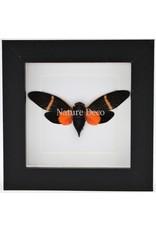 Nature Deco Oranje cicade (Toseana Paviei) in luxe 3D lijst 12 x 12cm