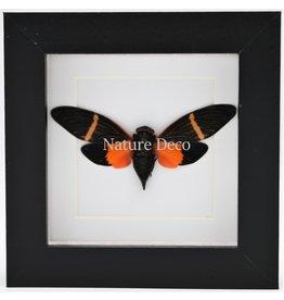 Nature Deco Oranje cicade (Toseana Paviei) in luxe 3D lijst