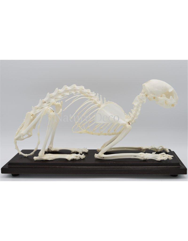 . Cat skeleton in box